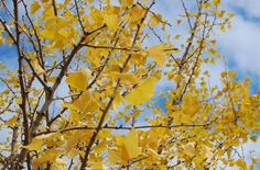 "Ginkgo biloba has elegantly-shaped leaves. They are fan-shaped. They also turn a rich golden-yellow in fall. Find out more facts about the so-called ""dinosaur tree"" here: http://landscaping.about.com/od/fallfoliagetrees/ss/Ginkgo-Biloba-Trees-Fall-Foliage-Champ-but-Avoid-the-Messy-Females.htm"