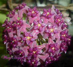 "Hoya purpureo-fusca ""smeru blooms"""