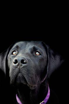 Stunning pet portrait! Black labrador retriever | Photography | Lab love | Dog | Puppy