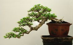 bonsai | Kengai – Galeria do estilo cascata » rudi_CARMONA_S