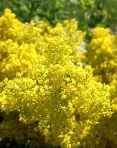 Flori de sanziene, florile magice ale verii Autumn Photography, Bellisima, Herbs, Flowers, Scenery, Plant, Fall Photography, Fall Pictures, Herb