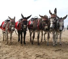 Blackpool donkeys on the Beach often end up @ The Donkey Sanctuary at Sidmouth