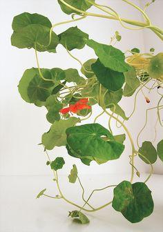 Nasturtium leaves by Camilla Engman (juxtaposed with woman sleeping under lotus leaves)