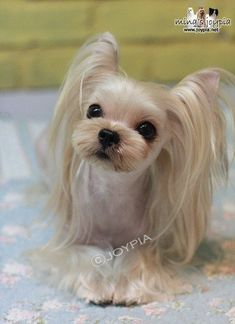 korean dog grooming - Google Search