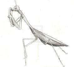 how to draw a praying mantis  step by step  bugs  animals