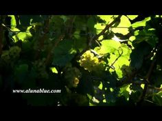 Beautiful green grapes on vines backlit by golden sunlight.     Purchase this clip at A Luna Blue:   http://www.alunablue.com/industry-stock-footage/wine-country/wine-country-02/clip-02.html     A Luna Blue Stock Video.   Imagery for Your Imagination.   http://www.alunablue.com/stock-video