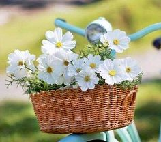 flower_white daisies with yellow centers in a bike basket