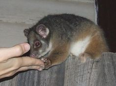 Common Ringtail Possum in the back garden of a Melbourne home. Photo by Erin Silversmith.