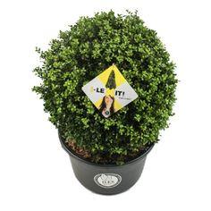 Ilex crenata 'Dark Green®' - bolvorm 20/+ cm Flowers, Fruit, Dark, Gardens, Front Yard Ideas, Home And Garden, The Fruit, Royal Icing Flowers, Bloemen