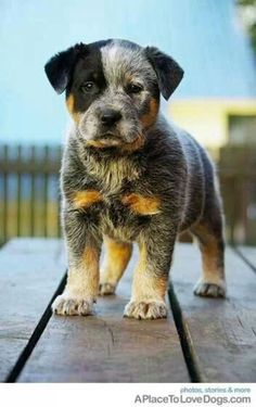 Australian Cattle Dog pup, aka Blue Heeler - I think these are beautiful dogs! Cute Cats And Dogs, I Love Dogs, Animals And Pets, Baby Animals, Cute Animals, Strange Animals, Healthiest Dog Breeds, Australian Cattle Dog, Animals Beautiful