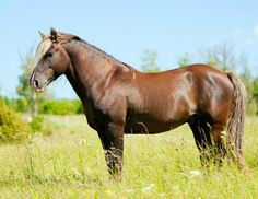 Estonian Native horse mare. This small sturdy breed originated over 2800 years ago in Estonia. Tireless and easy going, it is still popular there today. It is the foundation stock of the sportier Tori horse. photo: Rozpravka.