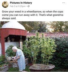 Grow yam weed m a wheelbarrow. so when the caps come you can run away wuh u mars what grandma always sam - iFunny :) Funny Weed Memes, Weed Jokes, Funny Sports Memes, Weed Humor, 420 Memes, Funny Shit, Funny Stuff, Marijuana Art, Herbs