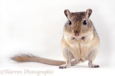 Agouti Mongolian Gerbil photo