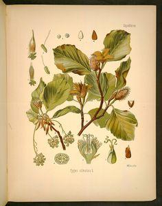 Image of Illustration of FAGUS silvatica L. 33