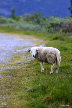 Ach, nae, where did te wee lambs go ter? They were supposed to just follow me......