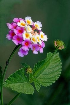 Lantana. Attracts wildlife, including butterflies. May be poisonous to pets. Deer resistant. Drought resistant. Tolerates salt spray. Warning: Lantana can be potentially invasive in warm and tropical climates where it isn't killed back by frost. Considered an invasive weed in Hawaii.