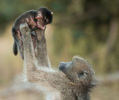 A mother baboon lifts its baby into the air, on March 24, 2013, in Kruger National Park, South Africa. It's a scene we've witnessed before – doting parents playing aeroplane with their young child. But astonished tourists watched as a loving baboon played the popular human game with its young. The touching moment was spotted in the Kruger National Park, South Africa, by Mariana de Klerk, 54, in March 2013. The pictures, which have not been seen before, clearly show the delight on the ...