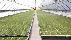 Tobacco greenhouse, you are looking at well over a million tobacco plants in this one greenhouse