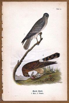 Marsh Hawk 1890 Bird Warren Chromolithograph