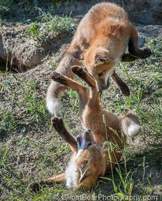 Red Fox Cubs by Ghost Bear Photography - GhostBearPhotography Pretty Animals, Most Beautiful Animals, Cute Baby Animals, Nature Animals, Animals And Pets, Wild Animals, Fantastic Fox, Pet Fox, Fox Art
