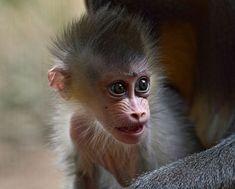 Cute Baby Mandrill Monkey