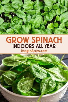 How to Grow Spinach Indoors - Spinach is an ideal crop to grow indoors in containers. The plants stay small and produce numerous harvests. Learn how to grow spinach indoors. Source by greenifyorganics - Growing Spinach, Growing Veggies, How To Grow Spinach, Planting Spinach, Growing Plants Indoors, Vegetables To Grow Indoors, How To Harvest Spinach, Growing Vegetables In Containers, Planting Vegetables