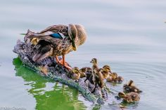 https://flic.kr/p/rDyvLw   Learning from Mommy!   Mommy teaching the ducklings how to clean themselves up :)  Of course, some of them just look out from the corner of their eyes...