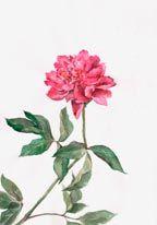 Pink Peony Mural - Stock Photos| Murals Your Way