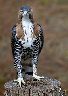 Bird of Prey - Ornate Hawk-Eagle
