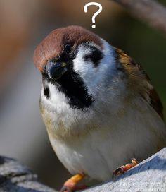 ん? しーらなーいちゅーん♪. (スズメちゃんと #妄想会話) . . スズメが主役の物語『あした、どこかで。』. シリーズ1 amazon.co.jp/dp/490841100X . シリーズ2 amazon.co.jp/dp/4908411018 . 詳しくは http://alive-cr.com  . . #スズメ #雀 #sparrow #小鳥 #鳥 #bird #動物 #animal #癒し #本 #スズメ写真集 #自然 #足もとの自然 #身近な自然 #nature #写真 #写真撮ってる人と繋がりたい #photo #photography #ちゅん活 #知らんぷり #ハテナトリ