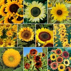 Sunflower Garden Ideas your guide to planting a sunflower garden Sunny Sunflower Seed Mix Sunflower Seedssunflowersgarden Ideas