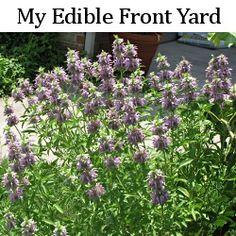 Front Yard Edible Garden Ideas growing vegetables in the front yard   front yards, yards and gardens