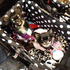 All I need! Chihuahua