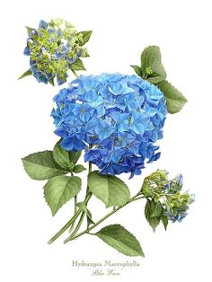 Hydrangea Blue Wave Art Print by Artellus Artworks. All prints are professionally printed, packaged, and shipped within 3 - 4 business days. Illustration Botanique, Illustration Blume, Vintage Botanical Prints, Botanical Drawings, Botanical Flowers, Botanical Art, Art Floral, Watercolor Flowers, Watercolor Art