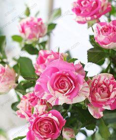 Goedkope Rose bloemzaden een veelvoud van hoofden rood rose roze bloemzaden bonsai tuin van exotische planten 150 stks, koop Kwaliteit bonsai rechtstreeks van Leveranciers van China: Naam: roos bloem zaden zaden een veelvoud van hoofden roze rode roos bloem zaden bonsai tuin van exotische planten 150 s