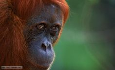 The dilemma facing the Orangutan's in the country of Sumatra. These creatures are being threatened greater every day, with Palm Oil productions and deforestation on protected lands being the main concerns. Protected lands which the Orangutan's inhabit, have little or no enforcement by local government, allowing Palm Oil companies, along with logging companies to wreck havoc on the already weakened rainforest where the Orangutan's live.