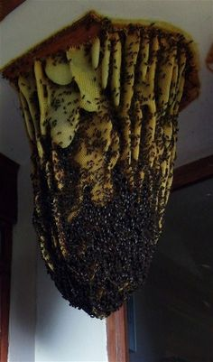 Honey bee colony spilling out of the ceiling of a home.