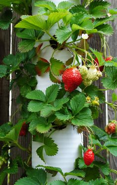 Hanging Strawberries in PVC Pipes..These will look lovely hanging on the fence with the potato bags & can heb containers...Sue 2013
