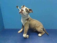 RALPHY is an adoptable Pit Bull Terrier Dog in Brooklyn, NY.  ...