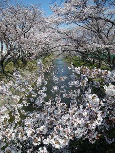 2011年春五条桜見ごろ! - 大口町五条川桜情報