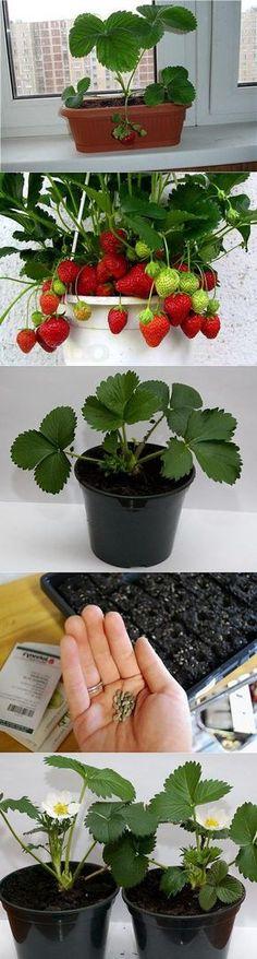 Клубника на подоконнике: технология выращивания клубники