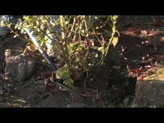 Plant Care & Gardening : How to Transplant Old Roses - YouTube