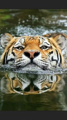 Amazing wildlife - Tiger and water photo by Klaus Wiese Big Cats, Cats And Kittens, Cute Cats, Nature Animals, Animals And Pets, Cute Animals, Wild Animals, Baby Animals, Humorous Animals