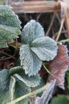 Zimní zelené smoothie Spirulina, Herb Garden, Chili, Herbs, Smoothie, Plants, Chile, Herbs Garden, Herb
