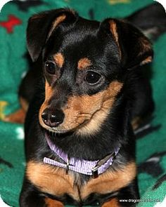 Pictures of Bella Rose, 8 mos, mix a Dachshund/Chihuahua Mix for adoption in Spokane, WA who needs a loving home.