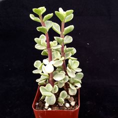 The plant comes in a 2 1/4 inch pot You will receive a very similar plant to the one on the picture. this plant is shipped in its pot to prevent any damage on the roots This nice looking succulent shr