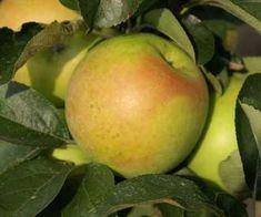 POMI FRUCTIFERI Fruit Trees For Sale, Apple Varieties, Apple Fruit, Apple Tree, Apple