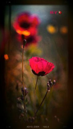 Poppies by Emma Marashlyan