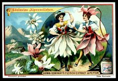 1898. Flower Girls (Edelweiss & Cyclamen) trading card issued by Liebig Extract of Beef Company. S556.