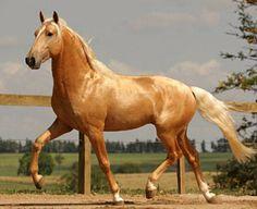 Kicked in the Head: The Equestrian Helmet Palomino, Horse Breeds, Horse Love, Horseback Riding, Horse Riding, Beautiful Horses, Beautiful Creatures, Equestrian, Cute Animals